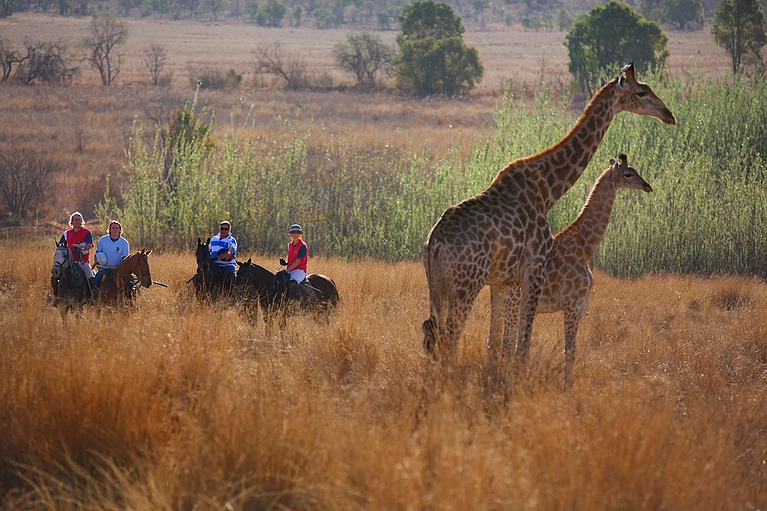 Horses and giraffe on safari